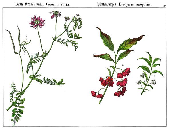紫「The Purple Crown Vetch (Coronilla Varia) And The Spindle (Evonymus Europaeus). Lithography.  From: Die Giftgewaechse Deutschlands Und Der Schweiz. Verlag J. F. Schreiber: Esslingen (1867).」:写真・画像(9)[壁紙.com]