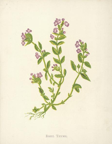 Violet - Flower「Basil Thyme」:写真・画像(15)[壁紙.com]