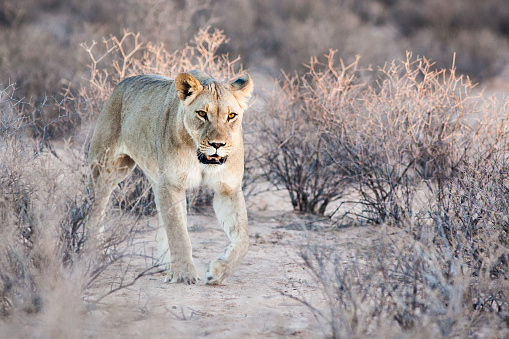 Animals Hunting「Young lioness walking through the bush, South Africa」:スマホ壁紙(10)