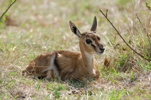 Gazelle「Frightened Wild Baby Thomson's Gazelle」:スマホ壁紙(1)