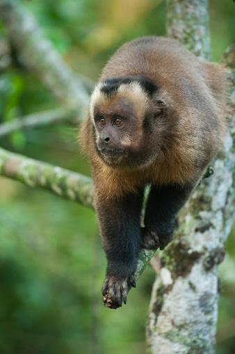 Montane Rainforest「Brown Capuchin Monkey (Cebus apella) Manu National Park, PERU」:スマホ壁紙(9)