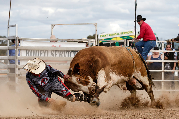 Bull - Animal「Ute Enthusiasts Gather For Annual Deni Ute Muster」:写真・画像(7)[壁紙.com]