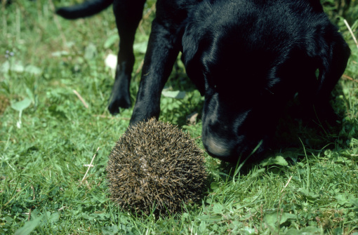 ハリネズミ「hedgehog erinaceus europaeus dog investigating」:スマホ壁紙(7)