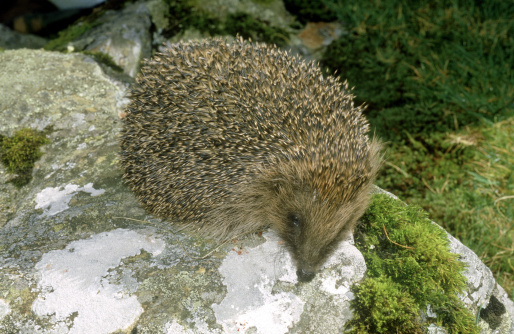 ハリネズミ「hedgehog erinaceus europaeus on rock tregarron, wales」:スマホ壁紙(10)