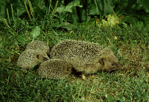 ハリネズミ「Hedgehog, Erinaceus europaeus,  with young」:スマホ壁紙(11)