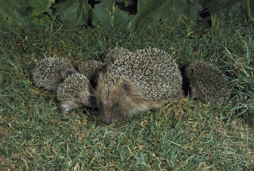 ハリネズミ「hedgehog erinaceus europaeus with young」:スマホ壁紙(12)