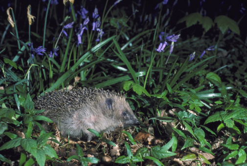 ハリネズミ「hedgehog erinaceus europaeus in blubells hampshire」:スマホ壁紙(15)