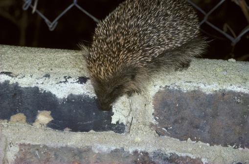 ハリネズミ「hedgehog erinaceus europaeus in north london garden uk」:スマホ壁紙(17)