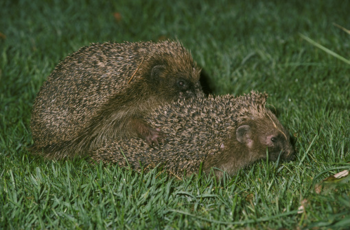 ハリネズミ「hedgehog erinaceus europaeus mating」:スマホ壁紙(4)