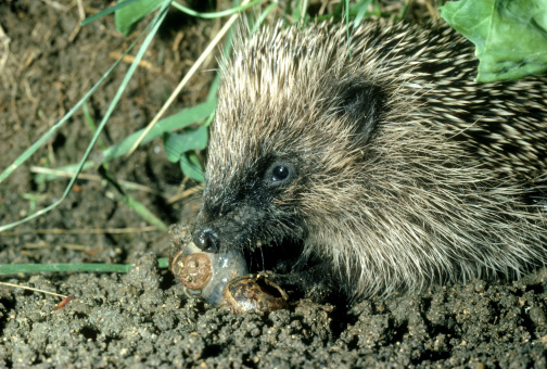 ハリネズミ「hedgehog erinaceus europaeus baby hunting snails in cabbage patch. oxon, u.k.」:スマホ壁紙(6)