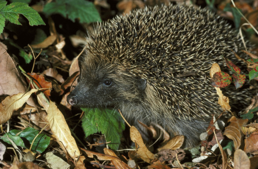 ハリネズミ「hedgehog erinaceus europaeus sussex」:スマホ壁紙(14)