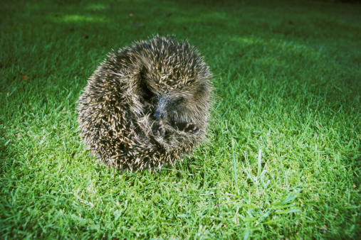 ハリネズミ「hedgehog erinaceus europaeus rolled into a ball.」:スマホ壁紙(7)