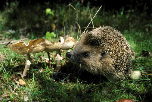 ハリネズミ「hedgehog erinaceus europaeus hampshire」:スマホ壁紙(9)