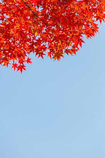 Japanese Maple「Sunshine on Japanese Maple/Acer leaves」:スマホ壁紙(4)