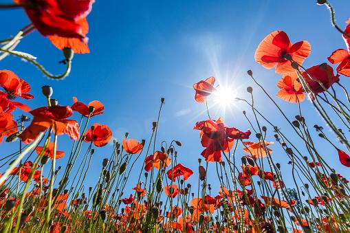 Sunbeam「Sunshine on red flowers」:スマホ壁紙(10)