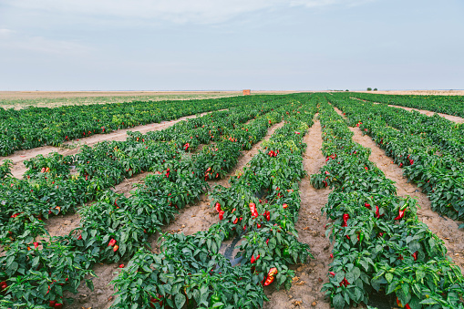 Serbia「Serbia, field, red bell peppers」:スマホ壁紙(10)
