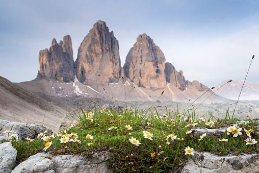 Alto Adige - Italy「Italy, Dolomites, Tre Cime di Lavaredo, white flowers」:スマホ壁紙(17)