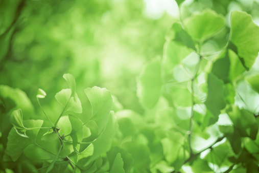 Frond「gingko leaf」:スマホ壁紙(9)