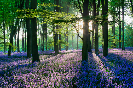 花畑「Bluebells in the countryside, Micheldever Woods, Hampshire, England, UK」:スマホ壁紙(17)