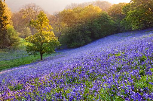 花畑「Bluebells in the countryside, minterne Magna, Dorset, England, UK」:スマホ壁紙(11)