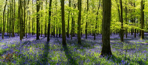 Bluebell Wood「Bluebells In An English Beechwood」:スマホ壁紙(7)