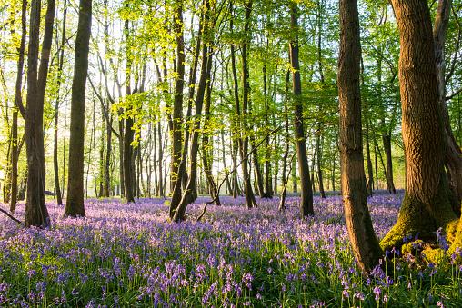 Bluebell Wood「Bluebells in beech woods at dawn」:スマホ壁紙(8)