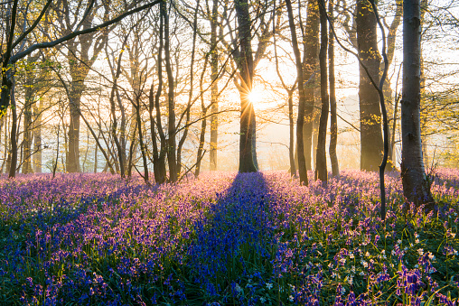 Fairy Tale「Bluebells in mixed woodland at sunrise」:スマホ壁紙(3)
