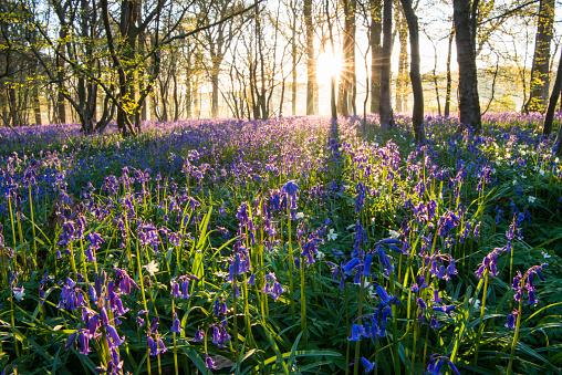 Fairy Tale「Bluebells in mixed woodland at sunrise」:スマホ壁紙(18)