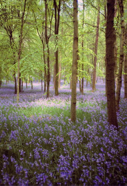 Woodland「Bluebells, Buckinghamshire, UK」:写真・画像(16)[壁紙.com]