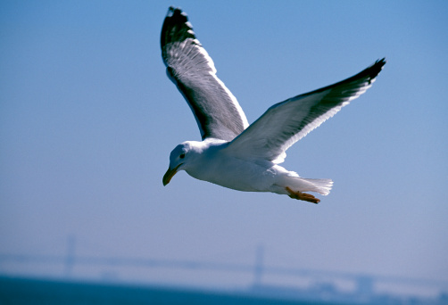 2002「Black-Tailed Gull Flying」:スマホ壁紙(12)