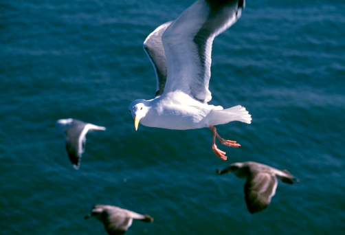 2002「Black-Tailed Gull」:スマホ壁紙(13)