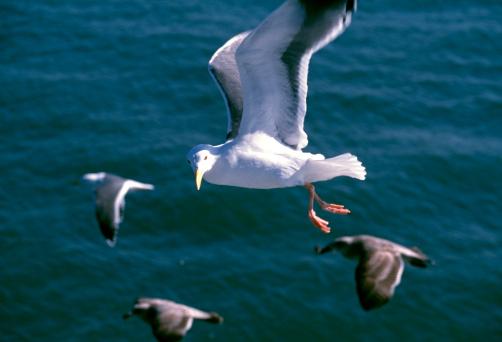 2002「Black-Tailed Gull」:スマホ壁紙(19)