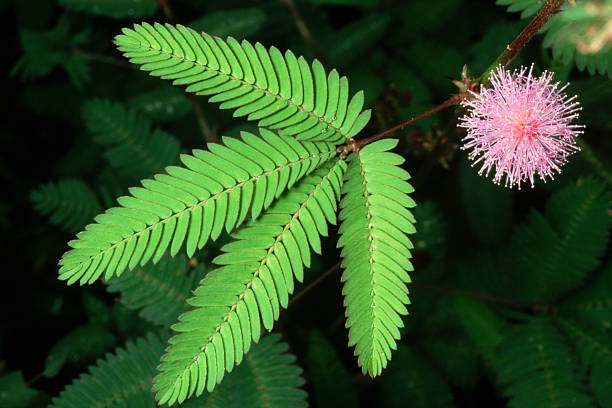 Branch of Sensitive Plant:スマホ壁紙(壁紙.com)