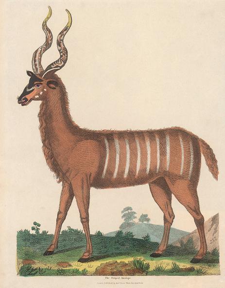 Horned「The Striped Antelope」:写真・画像(17)[壁紙.com]
