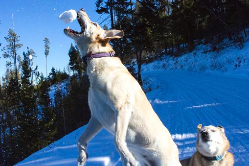 雪玉「Dog catching snowball, Lolo, Montana, USA」:スマホ壁紙(18)