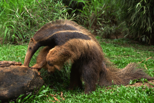 Pampas「Giant anteater foraging」:スマホ壁紙(3)