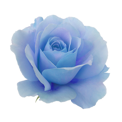 Sensory Perception「Blue and purple rose in close-up on a white square」:スマホ壁紙(1)