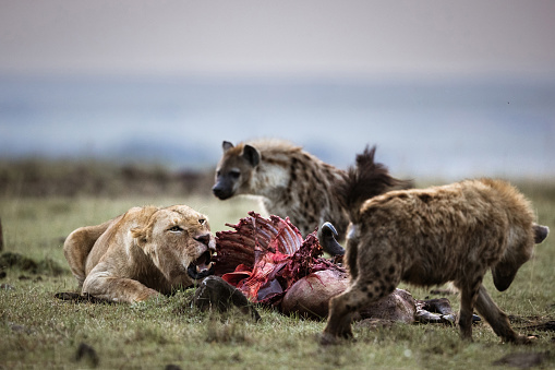 ガラス「Lioness protecting her food from hyena.」:スマホ壁紙(16)