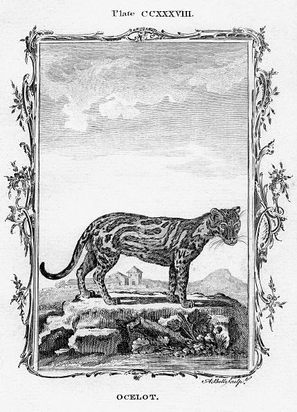 Animals Hunting「Ocelot.Artist: A Bell」:写真・画像(7)[壁紙.com]