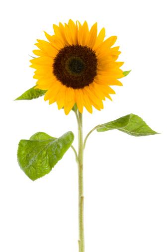 Life Cycle「wet sunflower」:スマホ壁紙(7)