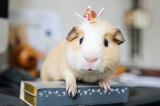 Origami「Baby guinea pig with an origami crown on head」:スマホ壁紙(14)