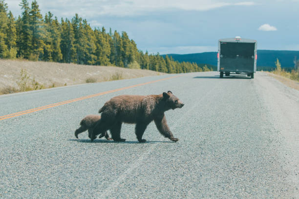 Bear and cub crossing street behind truck:スマホ壁紙(壁紙.com)