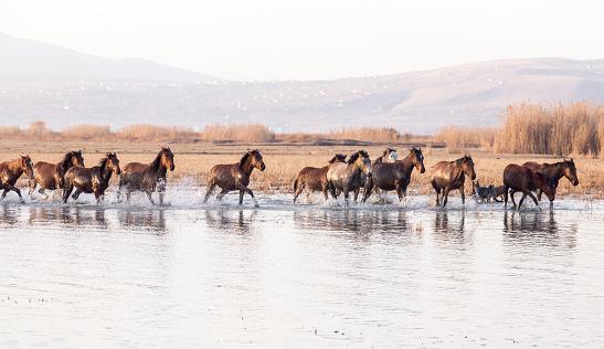 Animals In The Wild「Wild Horses running in water」:スマホ壁紙(10)