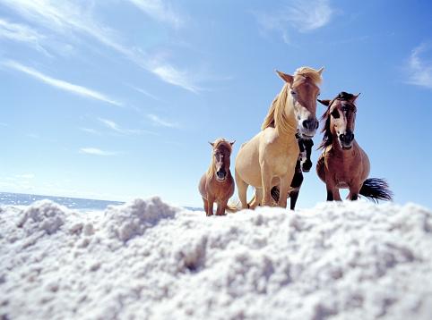 Horse「wild horses on Assateague Island」:スマホ壁紙(1)