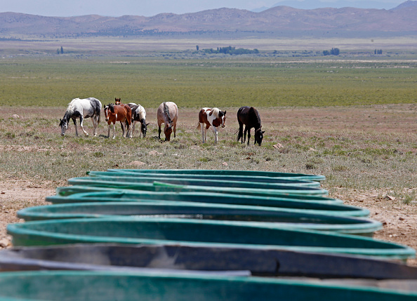 野生動物「Trump Bureau Of Land Management Budget Seeks To Cull U.S. Wild Horses」:写真・画像(10)[壁紙.com]