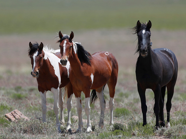 野生動物「Trump Bureau Of Land Management Budget Seeks To Cull U.S. Wild Horses」:写真・画像(11)[壁紙.com]