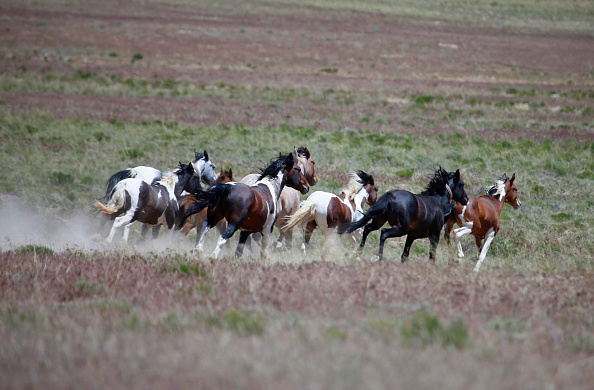野生動物「Trump Bureau Of Land Management Budget Seeks To Cull U.S. Wild Horses」:写真・画像(18)[壁紙.com]