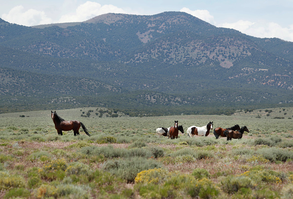 野生動物「Trump Bureau Of Land Management Budget Seeks To Cull U.S. Wild Horses」:写真・画像(19)[壁紙.com]