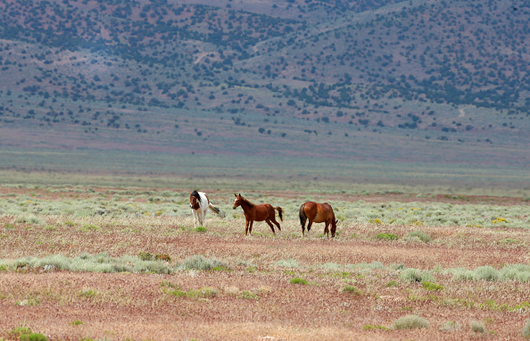 野生動物「Trump Bureau Of Land Management Budget Seeks To Cull U.S. Wild Horses」:写真・画像(16)[壁紙.com]