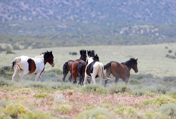 野生動物「Trump Bureau Of Land Management Budget Seeks To Cull U.S. Wild Horses」:写真・画像(8)[壁紙.com]